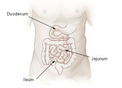 Illu small intestine.jpg
