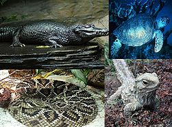 From left to right: Spectacled Caiman (Caiman crocodilus), Green Sea Turtle (Chelonia mydas,), Eastern Diamondback Rattlesnake (Crotalus adamanteus) and Tuatara (Sphenodon punctatus)