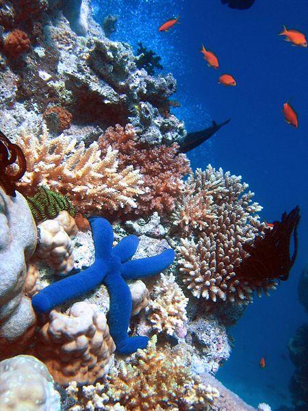 الشعاب المرجانية Blue_Linckia_Starfis