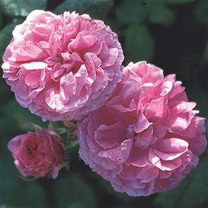 Image result for الوردة الشامية