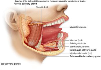 Salivary glands(1).jpg
