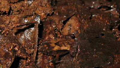 Frog barely recognisable against brown decaying leaf litter.