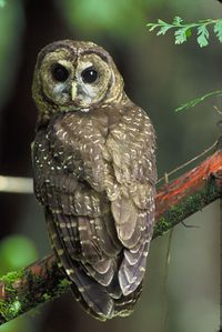 Northern Spotted Owl.USFWS-thumb.jpg