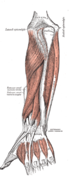 Flexor pollicis longus (left) and deep muscles of dorsal forearm (left)