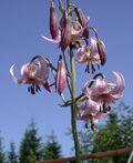 Lilium kelloggii.jpg