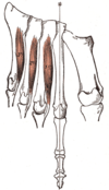 Central muscles of foot