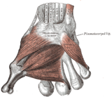 Thenar (left) and dorsal interossei (left) muscles