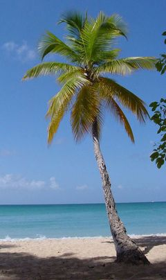 نخيل جوز الهند Cocos nucifera