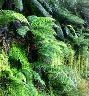 نباتات الأرض 300px-Ferns02