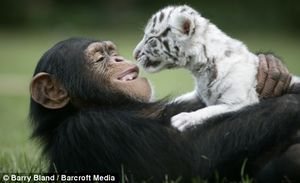 Chimpanzee adopts two White tiger cubs in TIGERS SC.jpg