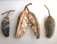 Baobab fruit, mature, split detail with dry pulp - Adansonia digitata.jpg