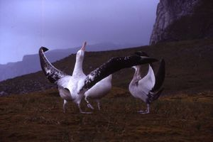 Three massive birds stand on low grasslands, the closest bird has its long wings outstreched and its head pointing upwards