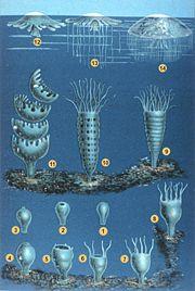 رسم لأطور قنديل البحر في نوعين مختلفين.