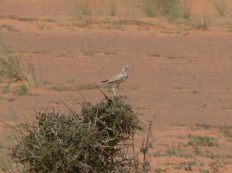 قبرة هدهدية 800px-Greater_hoopoe_lark_Mauritania.jpg