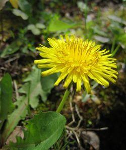 رأس زهرة الهندباء يتكون من مئات الزهيرات.
