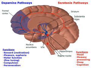 A drawing of the brain, the serotonergic system is red and the mesolimbic dopamine pathway is blue. There is one collection of serotonergic neurons in the upper brainstem that sends axons upwards to the whole cerebrum, and one collection next to the cerebellum that sends axons downwards the spinal cord. Slightly forward the upper serotonergic neurons is the ventral tegmental area, the dopaminergic neurons there sends axons to the nucleus accumbens, hippocampus and the frontal cortex. Over the VTA is another collection of dopamine cells, the substansia nigra, which send axons to the striatum.