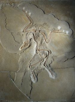 Fossil of complete Archaeopteryx, including indentations of feathers on wings and tail.