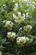 Lilium ledebourii 2.jpg
