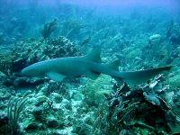 القرش الحاضن - المعرفة