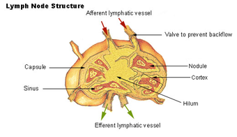 Illu lymph node structure.png