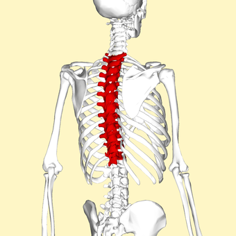 Thoracic vertebrae back3.png