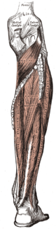 Deep and superficial layers of posterior leg muscles