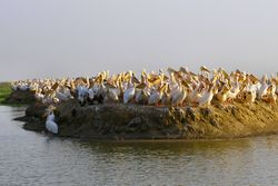 Djoudj ile pelican.jpg