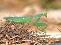 Giant African Mantis, Sphodromantis viridis