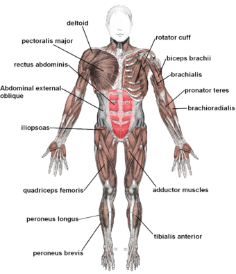 Muscles anterior labeled.png