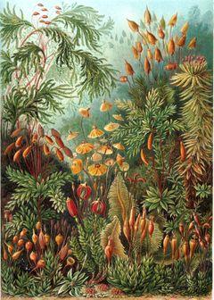 """""""Muscinae"""" من كتاب إرنست هيكل Kunstformen der Natur، عام 1904"""
