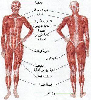 شكل تخطيطي لعضلات جسم الإنسان.