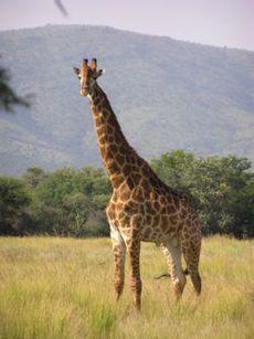 الزرافة Thumb.php?f=Giraffe_standing